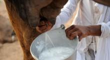 Le lait de chamelle permettrait de lutter contre le cancer